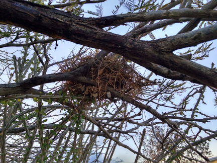 verdin nest