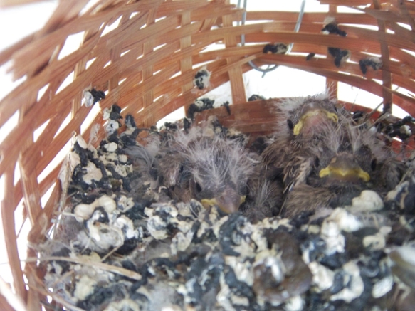 sparrow chicks in nest