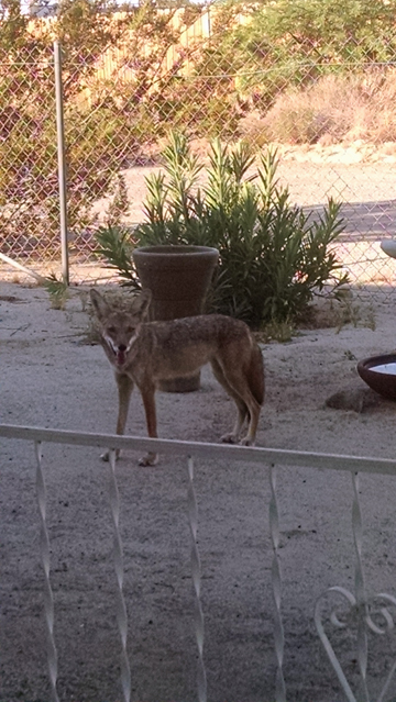 coyote in my yard