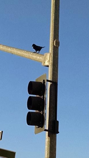 Crow on light pole