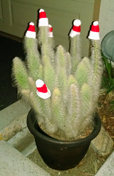 Santa hats on cactus