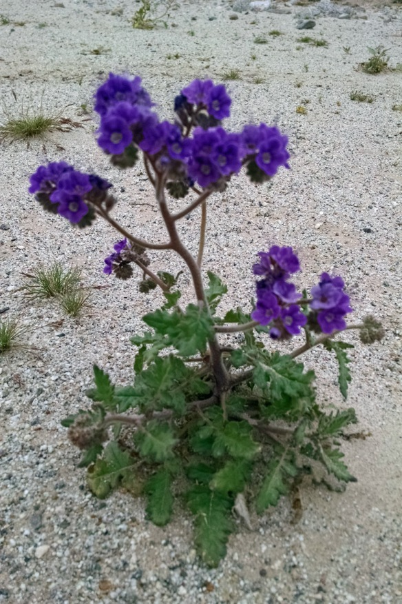 Purple flower in Salton City