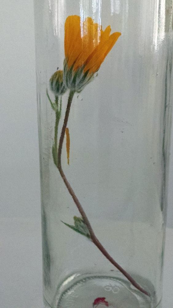 desertsunflower